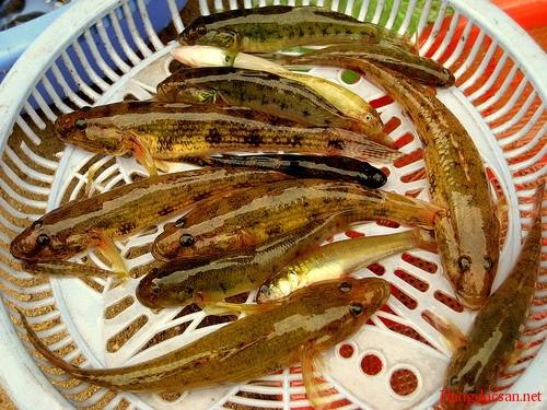 Kết quả hình ảnh cho cá bống sông tra